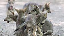 Schutzbedürftige Raubtiere: Die Wölfe sind zurück