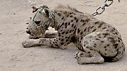 Wilde Tiere als Begleiter: Die Hyänenmänner Afrikas