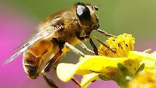 Das machen sich harmlose Tiere zu Nutze, in dem sie das Aussehen gefährlicher Arten imitieren. Die Schwebfliege zum Beispiel ist erst auf den zweiten Blick von einer Wespe zu unterscheiden. Das hält Angreifer fern.