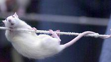 Die Ratte, ...