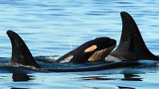 Wale: Bedrohte Meeressäuger