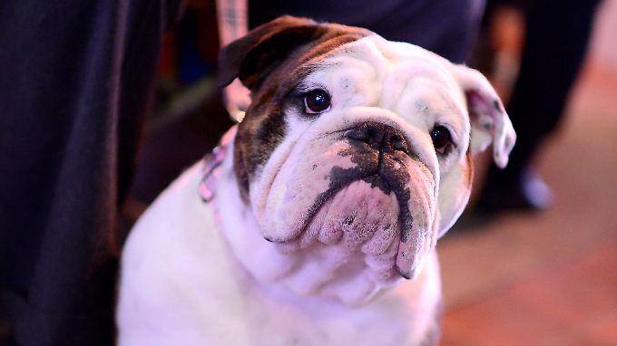 Hunde sind der Untersuchung zufolge in der Lage, ihre eigene Art visuell zu erkennen.