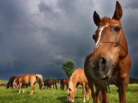 Im Herbst 2010 war im rumänischen Homocea eine Bande aufgeflogen, die massenhaft Pferde geschlachtet und das Fleisch an Supermärkte in Bukarest verkauft hat - als Rind deklariert.