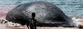Das heißt: Wale leben ausschließlich im Wasser. An Land sterben sie.