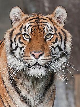 Bei den Tigern sind es nur noch 3200.