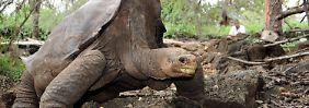Einbalsamiert nach Galápagos: Lonesome George kehrt zurück