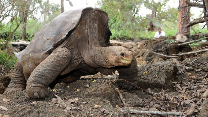 """Lonesome George"" im Galapagos Nationalpark in Ecuador im Juli 2007."