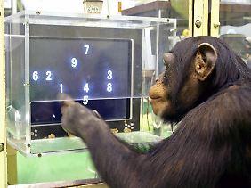 Der Schimpanse Ayumu tippt Zahlen auf einem Computerbildschirm an.