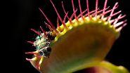 Grünzeug auf Beutefang: Pflanze frisst Tier
