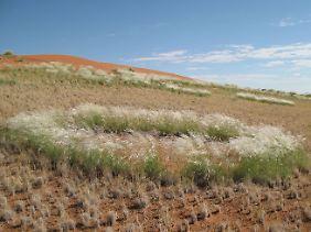 """Diese """"Feenkreise"""" in Namibia werden durch den Bewuchs von Stipagrostis ciliata (deutsch: Bewimpertes Fahnengras) sichtbar."""