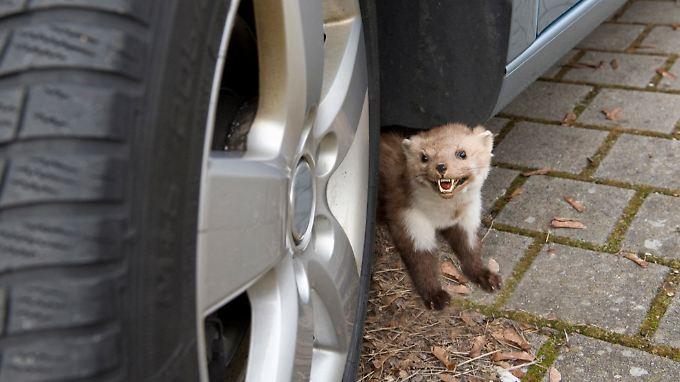 Kleine Tiere, große Schäden: Marder.