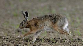 Der Verein Wildtierschutz Deutschland fordert den Stopp der Hasenjagd für mindestens fünf bis zehn Jahre.