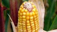 Experten geben Entwarnung: Gen-Mais für Bienen unschädlich