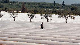 Ein Arbeiter sprüht Dünger auf einem Melonenfeld.