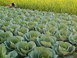 Kohl weiß, zu welcher Tageszeit die meisten Fraßfeinde zu erwarten sind. Die Pflanze begegnet den Schädlingen dann mit einer Extraportion Abwehrstoffen.