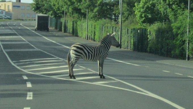 Für das entflohende Zebra hätte es sicher bessere Verstecke gegeben - zumindest bewies es mit seiner Wahl aber Humor.