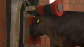 300 Euro pro Luxus-Steak: Züchter verwöhnt Rinder mit Musik und Massage