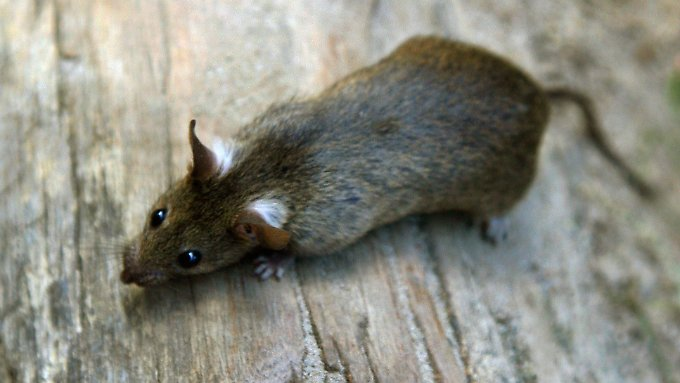 Die Ratte ist möglicherweise mit der Bordverpflegung an Bord gekommen.