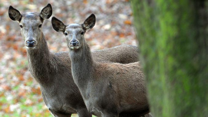 Rotwildkühe in einem Wildgehege: Beim Kampf um die Futterplätze kann Dominanz zum Verhängnis werden.