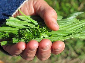 Spitzwegerich wird seit Jahrtausenden in der Heilkunde genutzt.