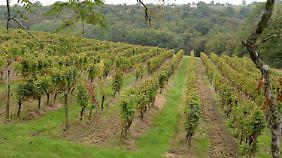 Das Weingut umfasst 80 Hektar Rebflächen.