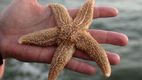 Wissenschaftler sind besorgt: Mysteriöser Erreger tötet massenhaft Seesterne