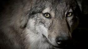 Züchter in großer Sorge: Wölfe reißen in Sachsen immer wieder Schafe