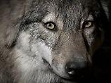 Was tun gegen die Angst?: Braunbär, Luchs und Wolf kommen zurück
