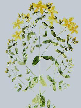 Johanniskraut wird im Volksmund auch als Herrgottsblut bezeichnet.