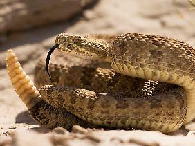 Diese Klapperschlange warnt vorbeigehende Wanderer gerade durch ein deutliches Rasseln mit der Schwanzspitze.