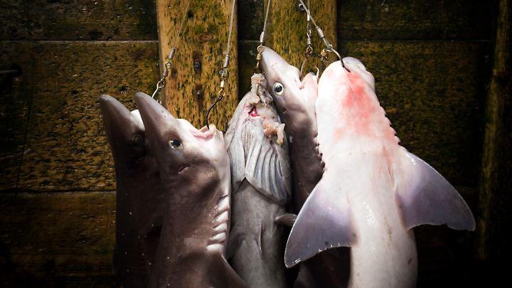 teuerster thunfisch der welt