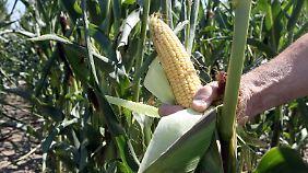 Landwirtschaftsminister Friedrich will über Regionalklauseln Genmais in Deutschland verhindern.