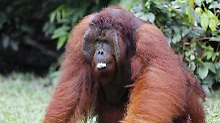 Orang-Utans gelten als scheue Baumbewohner. Foto: Barbara Walton