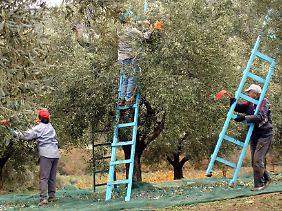 Die Olivenernte ist aufwendig.
