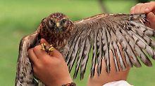 Ein Viertel der Zugvogelarten in Gefahr: Viel weniger Kuckucke rufen aus dem Wald