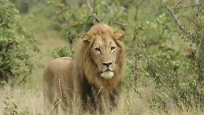 Plage für Viehzüchter: Kenia legt Löwen Halsbänder um