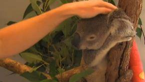 Mit Armbruch in die Wildtierklinik: Menschen sind die größte Bedrohung für Koalabären