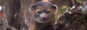 """""""Bassaricyon neblina"""" hat große Ähnlichkeit mit einem Waschbären."""