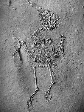 Versteinerte Überreste des Vogels, der in der Ölschiefergrube Messel gefunden wurde und vor ca. 47 Millonen Jahren gelebt haben soll.