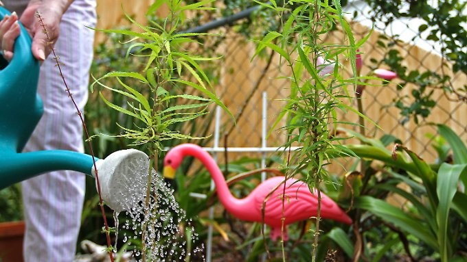 Cannabis ganz einfach auf dem Balkon anbauen? Das wird wohl in naher Zukunft nicht möglich sein.