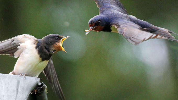 Schwalben beim Füttern: Insekten sind für viele Vögel die mit Abstand wichtigste Nahrungsquelle.
