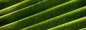 Auf der Suche nach der Super-Alge: Flugzeuge starten bald mit Algen-Kerosin