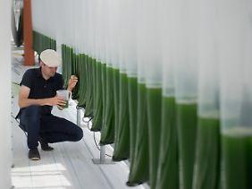 """Dominik Behrendt, Leiter des Projekts """"Aufwind"""", nimmt in einem Glasgewächshaus eine Probe einer Algenkultur aus einem der V-Reaktoren."""