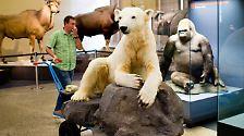 Mit echtem Fell und Glasaugen: Eisbär Knut wird unsterblich