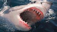 Messer, Dolche, Spieße: Die schärfsten Zähne der Tierwelt