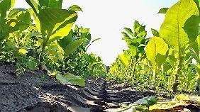 Eine nikotinfreie Hybrid-Tabakpflanze könnte als Grundstoff für Bio-Kerosin dienen.