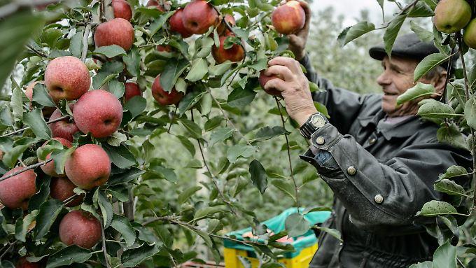 Polen ist mit rund 2,5 Millionen Tonnen im Jahr der größte Apfelproduzent Europas.