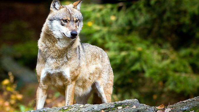Wölfe werden zunehmend auch in Deutschland beobachtet.