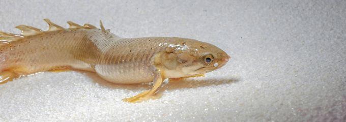 Ein Polypterus senegalus auf dem Trockenen.
