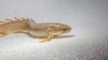 Großer evolutionärer Übergang: Wie die Fische laufen lernten